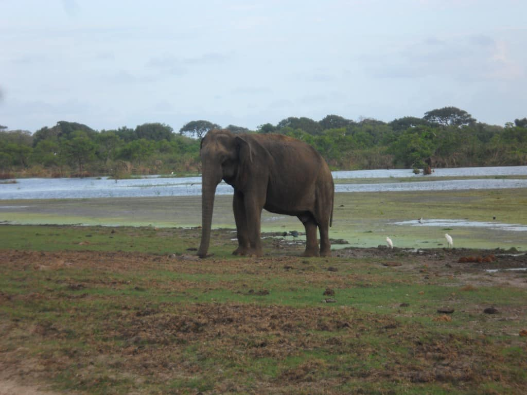 Elefant im Yala National Park in Sri Lanka